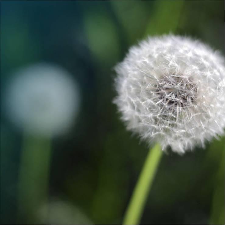 A dandelion seed head.